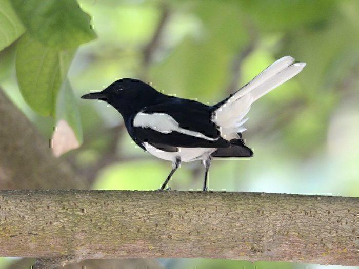 oriental magpie-robin.