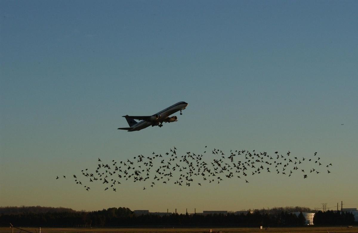 airport-birds