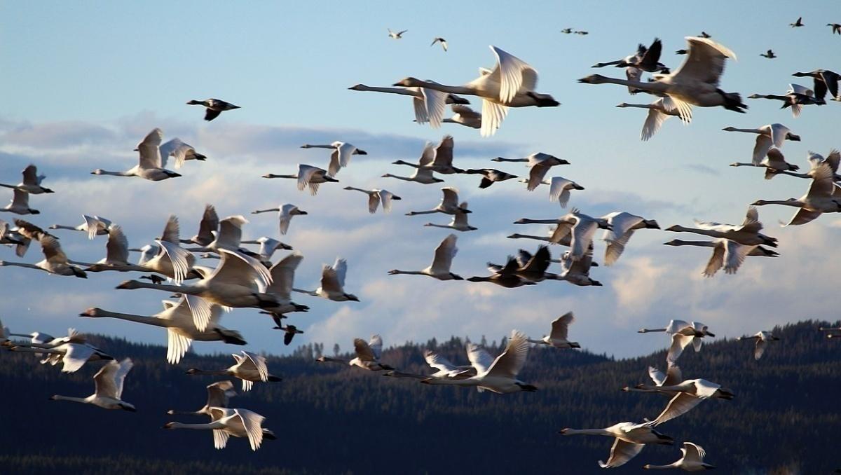 swan migrate