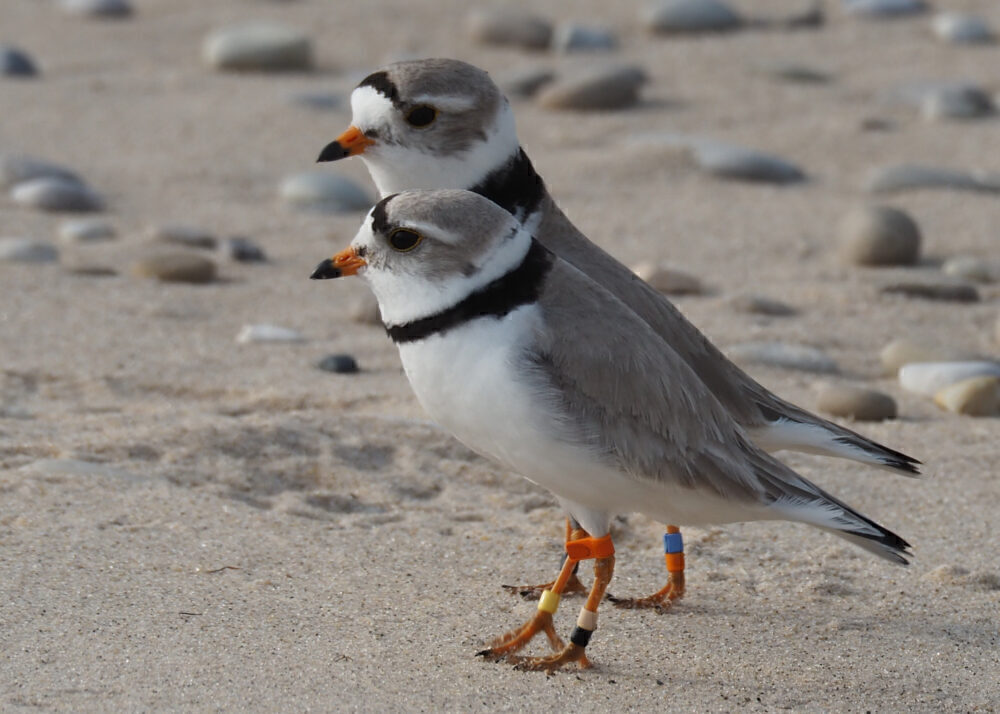Frontier Piping plover