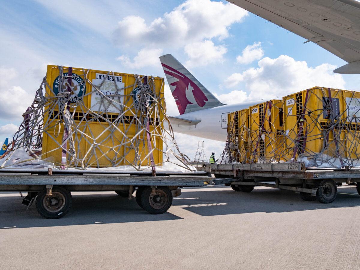 Qatar Airways, Special Cargo, Lions