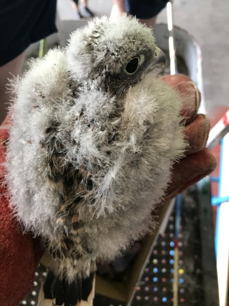 Kestrel Chicks in an APU