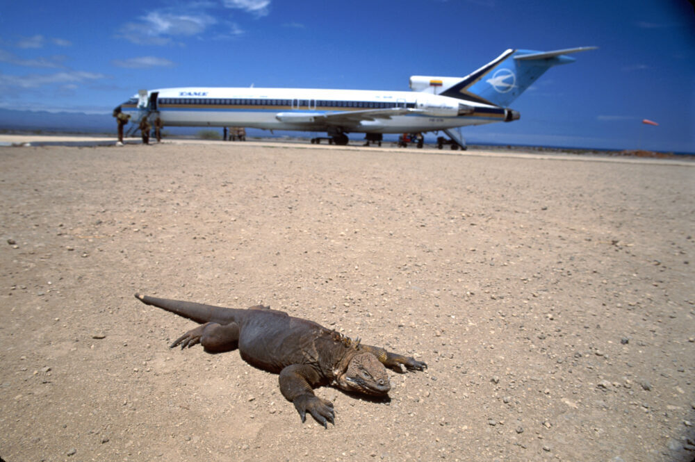 Ecuador, Galapagos Islands, Isla Baltra, airplane with land iguana